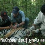 เสือโคร่งกับนักวิจัย เรียนรู้ ผูกพัน และอนุรักษ์