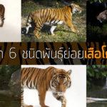 รู้จัก 6 ชนิดพันธุ์ย่อยของ 'เสือโคร่ง'