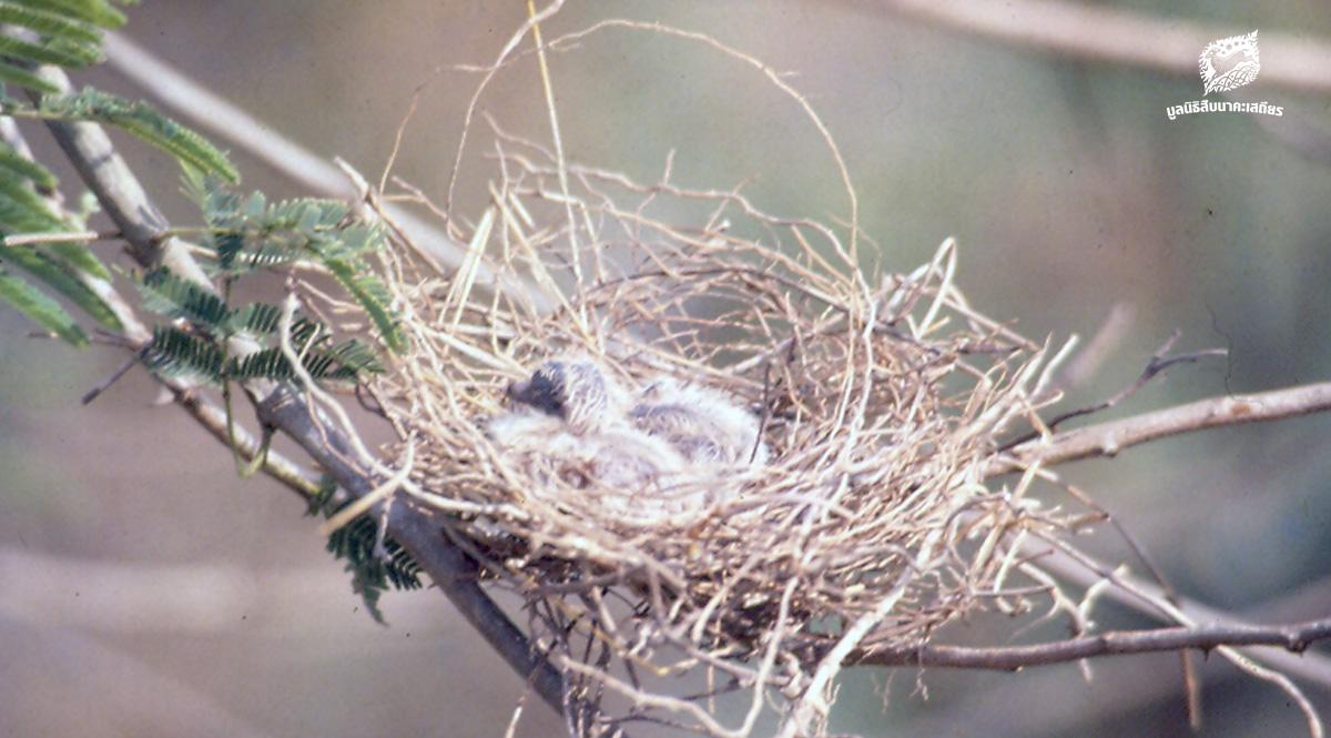 การทำรังวางไข่ของนกบางชนิดที่อ่างเก็บน้ำบางพระ จังหวัดชลบุรี