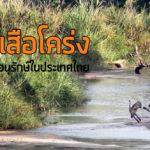 รู้จัก เสือโคร่ง และงานอนุรักษ์ในประเทศไทย