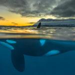 มลภาวะกำลังคร่าประชากรวาฬเพชฌฆาตครึ่งหนึ่ง