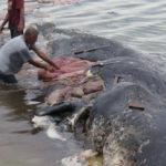 พบซากพลาสติกร่วม 6 กิโลกรัมในท้องซากวาฬสเปิร์ม