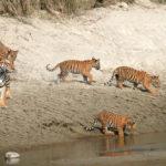 จำนวน 'เสือโคร่ง' ในเนปาลเพิ่มเป็นสองเท่า แต่พวกเขาจะกินอะไร ?