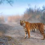 10 year challenge : 10 ปีที่ผ่านมาเสือโคร่งที่อินเดียถูกล่าไปถึง 429 ตัว