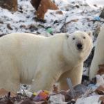 หมีขั้วโลกบุกเมือง – เมื่อโลกร้อนทำให้ความขัดแย้งระหว่างคนกับสัตว์ป่ามีมากขึ้น