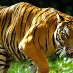 สถานะและความหวังของเสือโคร่งอินโดจีน ในเอเชียตะวันออกเฉียงใต้