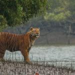 'เสือโคร่งเบงกอล' อาจหายไปจาก 'ซุนดาบันส์' ในอีก 50 ปี ?