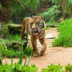 การใช้ข้อมูลทางสังคมและสิ่งแวดล้อม แก้ไขความขัดแย้งระหว่าง คน กับ 'เสือโคร่งสุมาตรา' ที่อินโดนีเซีย