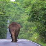 เมื่อช้างป่าไม่ได้อยู่แค่ในป่า ชวนคุยกับ ดร.พิเชฐ นุ่นโต ถึงแนวทางแก้ปัญหาช้างป่าที่ออกมาประชิดขอบป่ามากขึ้น
