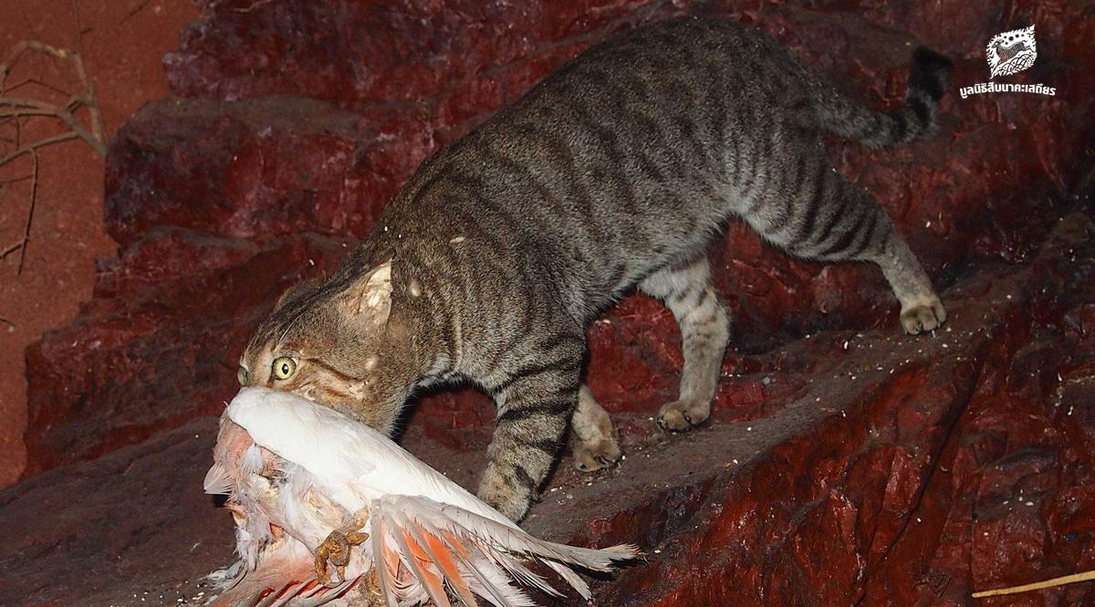 ทำไมรัฐบาลออสเตรเลียต้องประกาศสงครามกับแมวจรจัด