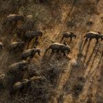 ใน 1 ปี มีช้างแอฟริกาถูกล่ามากถึง 15,000 ตัว