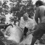 พบสาเหตุการตายวาฬหัวทุยแล้ว ผลชันสูตรระบุตายเพราะป่วย ฟันบางส่วนถูกตัดออกด้วยของมีคม