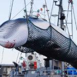 จุดเริ่มต้นของตอนจบ – เมื่อ 'ญี่ปุ่น' กลับมา ล่าวาฬ อีกครั้ง