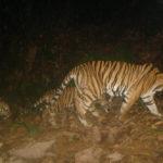 'เสือโคร่งมลายู' อาจสูญพันธุ์ในอีก 2 ปีข้างหน้า