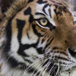 เหตุผลที่การเพาะพันธุ์เสือไม่อาจช่วยอนุรักษ์เสือโคร่งในป่าธรรมชาติได้