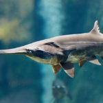 อวสาน ฉลามปากเป็ดจีน อีกหนึ่งผลกระทบจากประมงเกินพิกัดและการสร้างเขื่อนใหญ่คร่อมแม่น้ำ