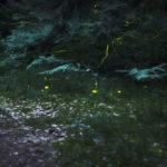 หิ่งห้อย กำลังจะสูญพันธุ์ เหตุเพราะการสูญเสียที่อยู่อาศัย ยาฆ่าแมลง และแสงไฟยามค่ำคืน