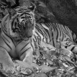 อะไรเป็นสาเหตุที่ทำให้ เสือโคร่ง ในประเทศลาว 'สูญพันธุ์'