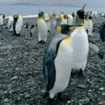 ประชากร เพนกวิน ชินสแตรป อาจลดลงเกินครึ่งหนึ่งบนเกาะในแอนตาร์กติก