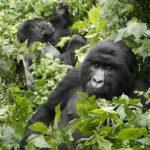 ชะตากรรมกอริลลาภูเขาในแอฟริกา ท่ามกลางการระบาดของโควิด-19