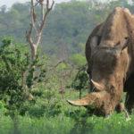 """จำนวน """"แรดดำ"""" ในแอฟริกาเพิ่มขึ้น แต่ก็ยังหนีไม่พ้นวิกฤตการสูญพันธุ์"""