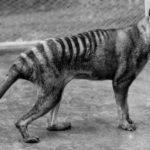 คลิปหาชมยากของเสือทัสมาเนีย หลักฐานจากอดีตของสัตว์ที่สูญพันธุ์ไปแล้ว