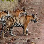 ที่อยู่อาศัยของเสือโคร่งในเอเชียกำลังถูกคุกคามด้วยโครงการถนนหลายสาย