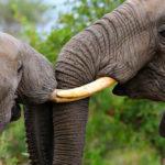 ช้างป่ากำลังจะสูญพันธุ์เพราะใคร และเราช่วยเหลืออะไรได้บ้าง