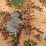 ความตายลึกลับของช้าง 365 เชือกในบอตสวานา