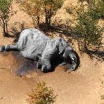 คำถามที่ยังไร้คำตอบ – เหตุใดช้างป่าเกือบ 400 ตัว ในบอตสวานาถึงตาย ?