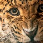 เสือจากัวร์ เสือดาว และสิงโต กำลังตกเป็นเป้าหมายใหม่ขบวนการค้าสัตว์ป่า (แทนที่เสือโคร่ง)