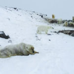 ประชากรหมีขั้วโลกส่วนใหญ่อาจไม่รอดหลัง พ.ศ. 2643