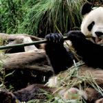 สำเร็จหรือล้มเหลว ? เมื่อจีนเพิ่มจำนวนแพนด้ายักษ์ได้ แต่สัตว์ผู้ล่าอื่น ๆ กลับลดลง