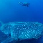 ฉลามวาฬยักษ์ใหญ่ใจดี และปริศนาที่ยังไม่มีคำตอบ