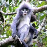 พบค่างสายพันธุ์ใหม่ (ที่ใกล้จะสูญพันธุ์) ในพม่า