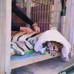 """หลักฐานชัด """"สวนสัตว์มุกดาสวนเสือและฟาร์ม จ.มุกดาหาร""""  มีการสวมเสือ อาจเข้าข่ายลักลอบค้าเสือโคร่ง"""