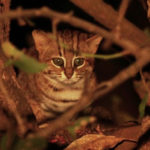 แมวป่าหายากสามสายพันธุ์ในชมพูทวีป กำลังเสี่ยงต่อการสูญพันธุ์