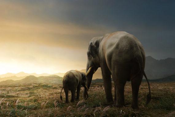 การสูญเสียแหล่งที่อยู่อาศัย คือปัจจัยสร้างความขัดแย้งระหว่างคนกับช้างในไทย