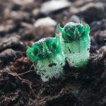 """""""พิศวงตานกนกฮูก"""" พืชไซส์จิ๋วสีเขียวมรกต แห่งตระกูลพิศวงที่แสนลึกลับ"""
