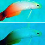 สีสันของปลาสำคัญอย่างไร ในวันที่อุณหภูมิน้ำทะเลเพิ่มขึ้น