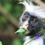 ลิงป่าในแทนซาเนียกำลังเผชิญความเสี่ยงอันตรายจากถนนที่ตัดผ่านป่าอนุรักษ์