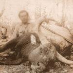 """""""กูปรี"""" สิ่งมีชีวิตที่เหลือเพียงภาพถ่าย ปัจจุบันสูญพันธุ์ไปแล้วจากป่าไทย"""