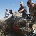 นักอนุรักษ์ตัดนอแรด เพื่อช่วยชีวิตแรดจากขบวนการลักลอบล่าสัตว์ป่า