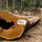รัฐประหารเมียนมากับการลักลอบทำลายป่าครั้งมโหฬาร