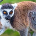"""""""ลีเมอร์"""" ในป่ามาดากัสการ์ถูกล่าเพิ่มมากขึ้นจากการระบาดของโควิด-19"""
