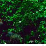 พบเสือโคร่งล่าเหยื่อกลางป่าแม่วงก์ ชี้วัดความสมบูรณ์ป่ารอบมรดกโลก