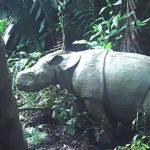 พบลูกแรดชวา 2 ตัว กลางป่ามรดกโลกอินโด เพิ่มความหวังการอนุรักษ์สัตว์ใกล้สูญพันธุ์