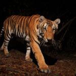 """สถานะและความหวังของ """"เสือโคร่ง"""" ในป่าอนุรักษ์ของประเทศไทย"""