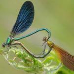 โลกร้อนทำให้สีปีกแมลงปอซีดลง ส่งผลกระทบการสืบพันธุ์ในอนาคต